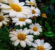 Daisy Daisy by susangabrielart
