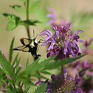 Hummingbird Moth by Rick  Friedle