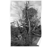 Old Tree 3 Colorado National Monument BW Poster