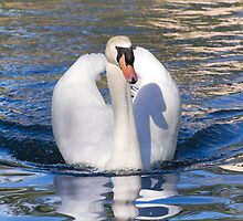 Mute Swan - Print by Mark Podger