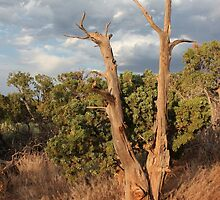 Old Tree 6 Colorado National Monument by marybedy