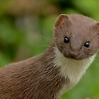 Portait Weasel (Mustela nivalis) by Peter Wiggerman
