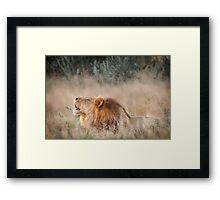 Roar of the Kalahari Framed Print