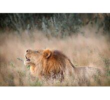 Roar of the Kalahari Photographic Print