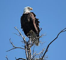 Bald Eagle Atop A Spruce Tree by Vickie Emms