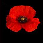 Poppy  by Catherine Hamilton-Veal  ©