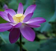 The Lotus Flower by YourLittleDream