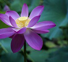 The Lotus Flower by YourLittleDream