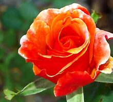 Riotous orange rose by ♥⊱ B. Randi Bailey