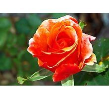 Riotous orange rose Photographic Print