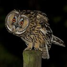 Long-Eared Owl (Asio otus) - V by Peter Wiggerman