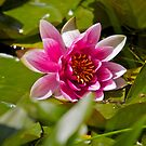 Pink Water Lily by RichImage