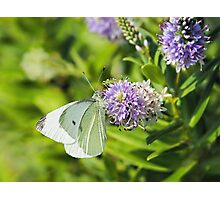 Cabbage White Butterfly On Hebe Flowers Photographic Print