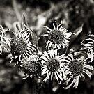 pleiades by dawn m. armfield