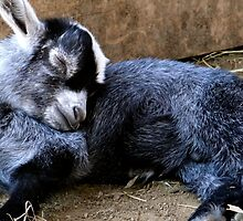 Twitching sleeping baby goat by daniellebotto