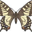 Butterfly by Colin Bentham