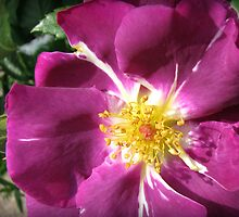 Mysterious Magenta Beauty - Wild Rose by BlueMoonRose