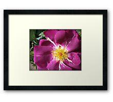 Mysterious Magenta Beauty - Wild Rose Framed Print