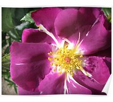 Mysterious Magenta Beauty - Wild Rose Poster