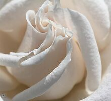 Long-Stemmed White Rose by JMcCombie