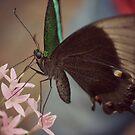 Butterfly by Hazel Dean