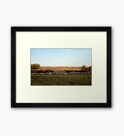 Ewes Fall Grazing On The Prairies Framed Print