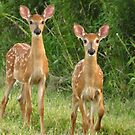 Curious Fawns by lorilee