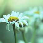 *Daisies in the Mist* by DeeZ (D L Honeycutt)