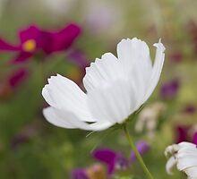 White by ekochanphotos