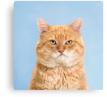 Grumpy looking red tabby cat on blue background Canvas Print