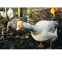 Curious Grey Goose Photographic Print