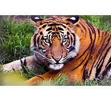 Adolescent Tiger Photographic Print