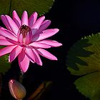 Pink Water Lily and bud. by cclaude