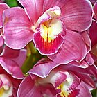 Pink Orchids by cclaude
