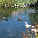 Ducks and swan in a water pond. by naturematters