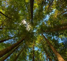 A Canopy of Trees by Dmitry Shuster