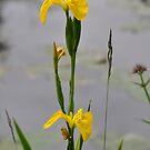 Yellow Iris by Declan Carr