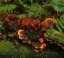 Ginger fungi by Michael Matthews