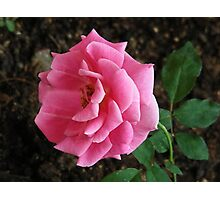Beautiful Rose Flower Capture Series 2 Photographic Print