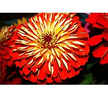 Bright zinnia Photographic Print