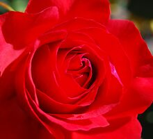 Red Rose by Ron Hannah