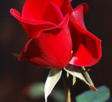 One Red Rose by Ron Hannah