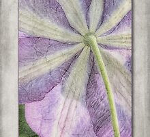 Clematis Miniseelik by John Edwards