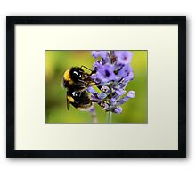 Bumble Bee & Lavender Framed Print