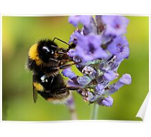 Bumble Bee & Lavender Poster