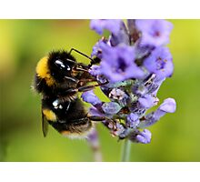Bumble Bee & Lavender Photographic Print