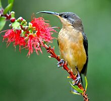 Eastern Spinebill  by helmutk