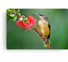 Eastern Spinebill  Canvas Print