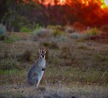 Evening Wallaby  by Penny Kittel