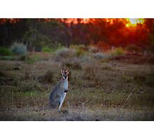 Evening Wallaby  Photographic Print